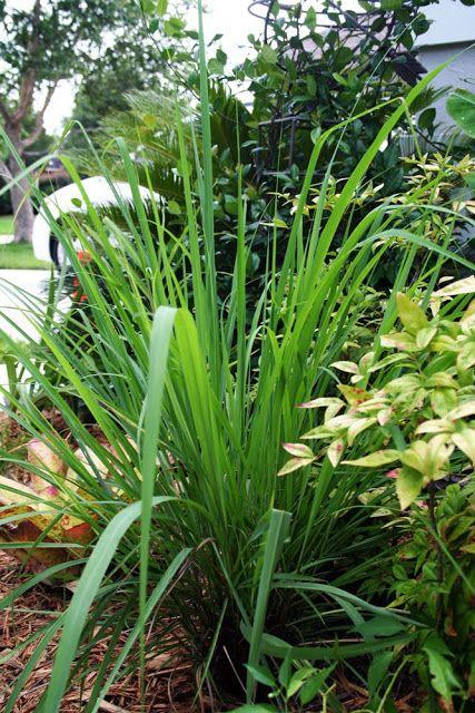 Des plantes r pulsives anti moustiques moving tahiti for Plante anti moustique exterieur