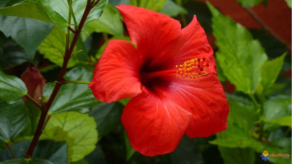 toutes les vertus de la fleur d 39 hibiscus moving tahiti. Black Bedroom Furniture Sets. Home Design Ideas